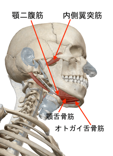 オトガイ舌骨筋