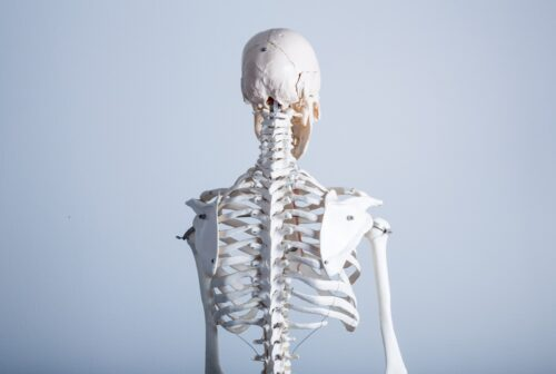 骨格の模型